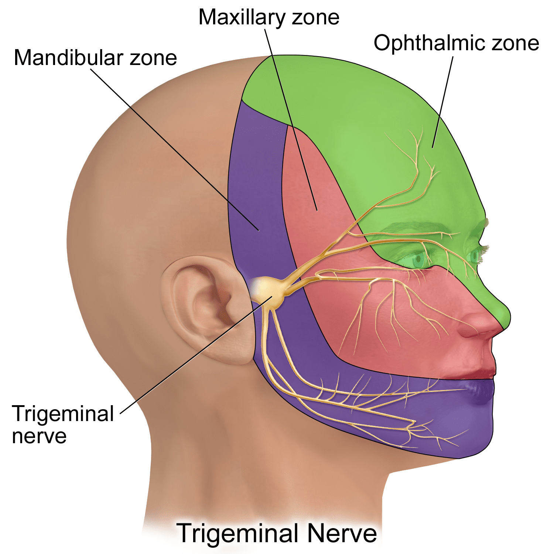 Trigeminal nerve innervation. Credit: Bruce Blaus via Wikimedia Commons.
